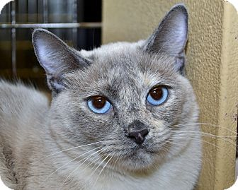 Siamese Kitten for adoption in Independence, Missouri - Electra