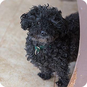 Poodle (Miniature) Dog for adoption in Kanab, Utah - Murray