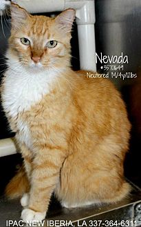 Maine Coon Cat for adoption in Waggaman, Louisiana - Nevada