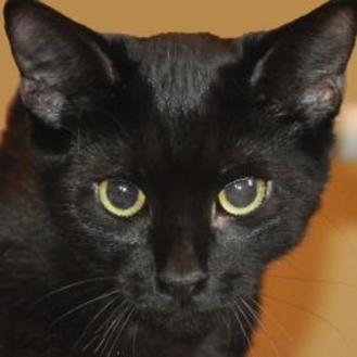 Domestic Shorthair/Domestic Shorthair Mix Cat for adoption in Tilton, Illinois - Miss Viking
