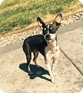 Chihuahua Mix Dog for adoption in Bellingham, Washington - Popi