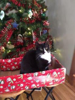 Domestic Shorthair/Domestic Shorthair Mix Cat for adoption in Richmond, Virginia - Trixie
