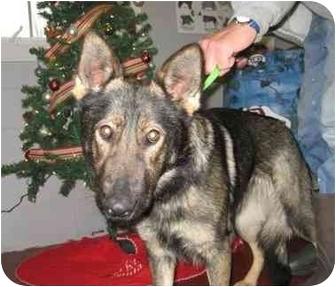 German Shepherd Dog Dog for adoption in Florence, Indiana - Little Bit