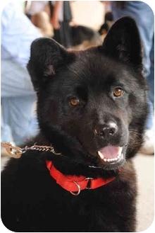 Chow Chow Mix Dog for adoption in Rochester/Buffalo, New York - Lakoda
