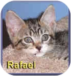 Domestic Shorthair Kitten for adoption in Aldie, Virginia - Rafael