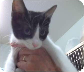 Domestic Shorthair Kitten for adoption in Grants Pass, Oregon - Darcy