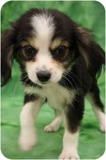 Spaniel (Unknown Type)/Cavalier King Charles Spaniel Mix Puppy for adoption in Broomfield, Colorado - Bufallo Bill
