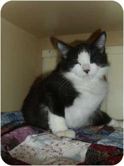 Domestic Mediumhair Kitten for adoption in Worcester, Massachusetts - Forrest