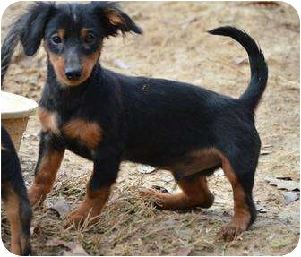 Dachshund Mix Puppy for adoption in Stafford Springs, Connecticut - Huey