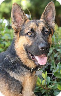 German Shepherd Dog Puppy for adoption in Los Angeles, California - Ruger von Rhine