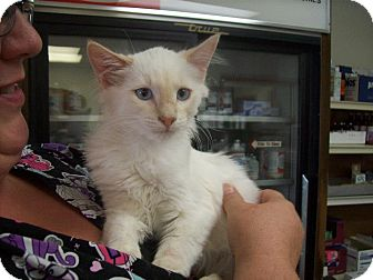 Domestic Longhair Cat for adoption in Walnut, Iowa - Ike