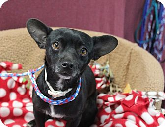Chihuahua/Terrier (Unknown Type, Small) Mix Dog for adoption in Gustine, California - JOHNNY
