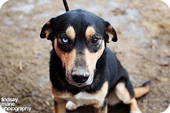 Husky/Golden Retriever Mix Dog for adoption in Carey, Ohio - MAGGIE