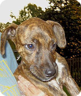 Labrador Retriever/Pit Bull Terrier Mix Puppy for adoption in Knoxville, Tennessee - Eleanor (Ellie)