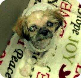 Japanese Chin/Shih Tzu Mix Puppy for adoption in College Station, Texas - Murdock