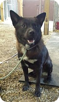 Chow Chow/Labrador Retriever Mix Dog for adoption in North Haven, Connecticut - Charlie