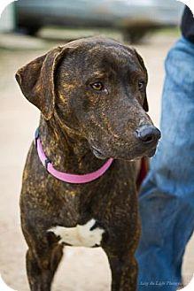 American Staffordshire Terrier/Labrador Retriever Mix Dog for adoption in Bulverde, Texas - Allan