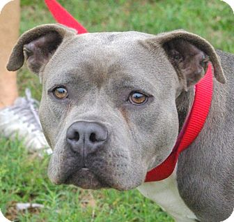 American Staffordshire Terrier Mix Dog for adoption in Daytona Beach, Florida - Sabrina