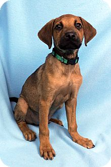 Hound (Unknown Type)/Vizsla Mix Puppy for adoption in Westminster, Colorado - Gimlet