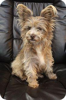 Papillon/Yorkie, Yorkshire Terrier Mix Dog for adoption in Staunton, Virginia - Cricket