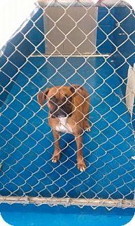 Boxer Dog for adoption in Newburgh, Indiana - Harley