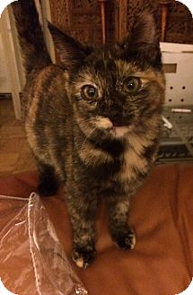 Domestic Shorthair Kitten for adoption in Forest Hills, New York - Lucy