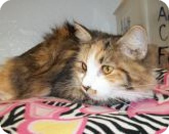Calico Cat for adoption in Silver City, New Mexico - Kali