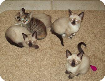 Siamese Kitten for adoption in Green Cove Springs, Florida - 5 Kittens