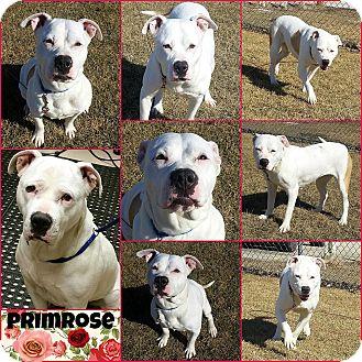 American Bulldog Mix Dog for adoption in Joliet, Illinois - Primrose