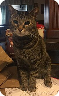Domestic Shorthair Cat for adoption in Attalla, Alabama - Tom