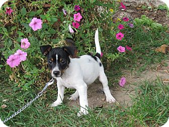 Feist/Terrier (Unknown Type, Small) Mix Puppy for adoption in Bedminster, New Jersey - TANGO
