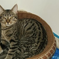 Domestic Shorthair Cat for adoption in Cypress, Texas - Molly