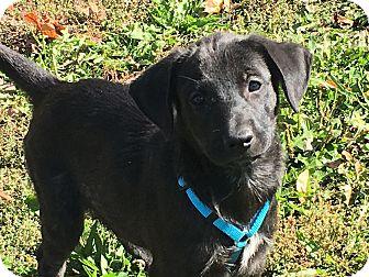 Labrador Retriever/Hound (Unknown Type) Mix Puppy for adoption in Pennigton, New Jersey - Tiara