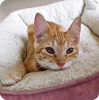 Domestic Shorthair Kitten for adoption in St. Francisville, Louisiana - Landry