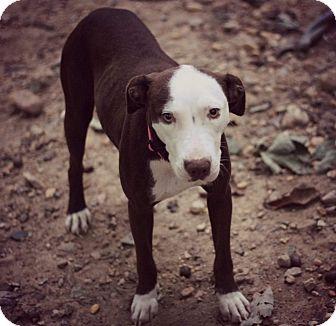 Labrador Retriever/Hound (Unknown Type) Mix Dog for adoption in Fredericksburg, Virginia - Ginger