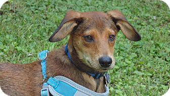 Hound (Unknown Type) Mix Puppy for adoption in New Orleans, Louisiana - Charlie