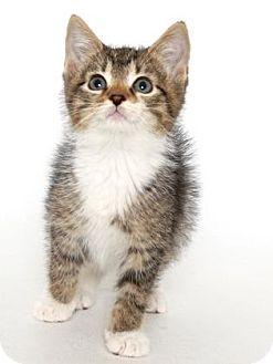 Domestic Shorthair Kitten for adoption in Gloucester, Virginia - DUSTIN