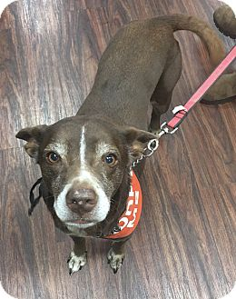 Labrador Retriever/Australian Cattle Dog Mix Dog for adoption in Garland, Texas - Coco