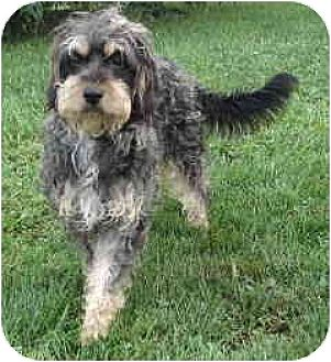 Cockapoo Mix Dog for adoption in Winfield, Pennsylvania - Snickers