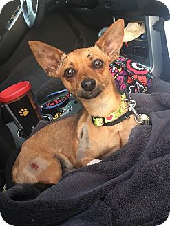 Chihuahua Mix Dog for adoption in Homestead, Florida - Oliver