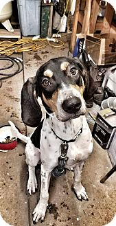 Treeing Walker Coonhound/Bluetick Coonhound Mix Puppy for adoption in West Bloomfield, Michigan - Red - Adopted!