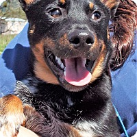 Adopt A Pet :: Augie - Grants Pass, OR