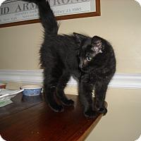 Adopt A Pet :: Sam -Adoption Pending - Arlington, VA