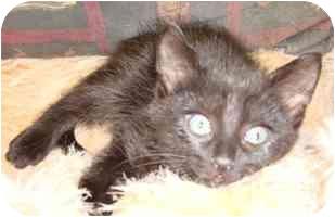 Domestic Shorthair Kitten for adoption in Brenham, Texas - Joe Joe