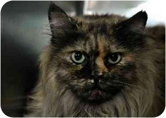 Siberian Cat for adoption in Long Beach, New York - Miranda