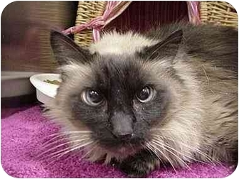 Himalayan Cat for adoption in The Colony, Texas - Katrina