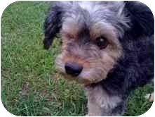 Schnauzer (Miniature)/Poodle (Miniature) Mix Dog for adoption in Cocoa, Florida - Mimi