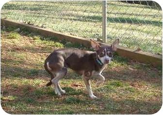 Chihuahua/Rat Terrier Mix Dog for adoption in North Wilkesboro, North Carolina - Polo
