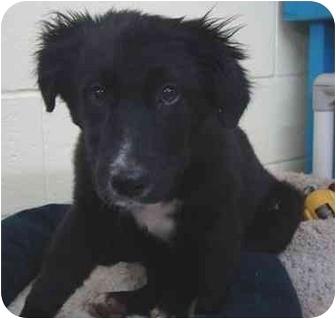 Labrador Retriever/Border Collie Mix Puppy for adoption in Haughton, Louisiana - Autumn and Azalea