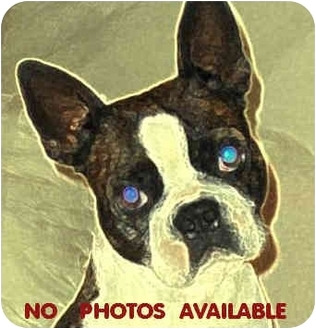 Boston Terrier Dog for adoption in North Augusta, South Carolina - RUDY
